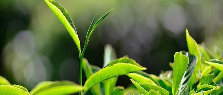 фитогормон роста