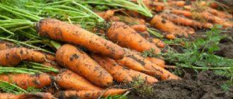 морковь рассадой