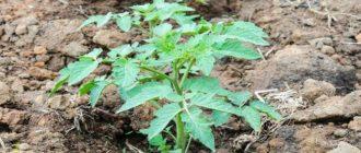 удобрения при посадке помидор