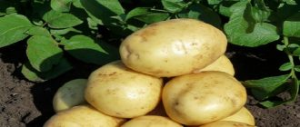 когда сажать картошку